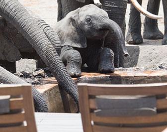 hwnage elephants