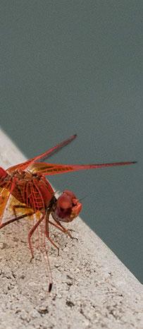 hwange fly